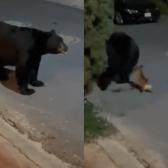 Chihuahua ahuyenta a oso que caminaba por calles de Monterrey