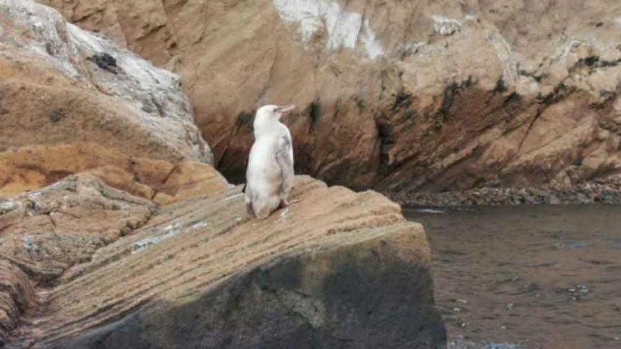 Descubren un pingüino blanco en las Islas Galápagos