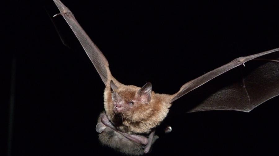 Encuentran nuevos coronavirus en murciélagos de China