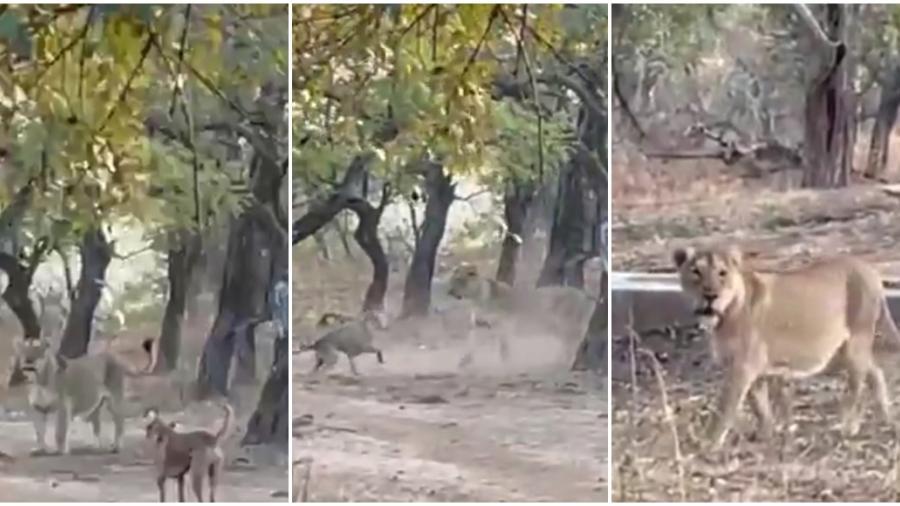 La sorprendente pelea que un perro le ganó a una leona