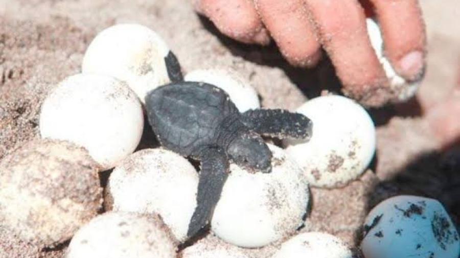 Cancún registró récord de anidación de tortugas en 2020