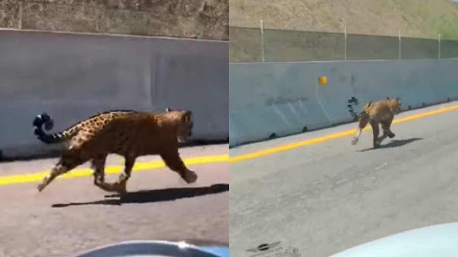 Captan a jaguar en la autopista Jala-Compostela